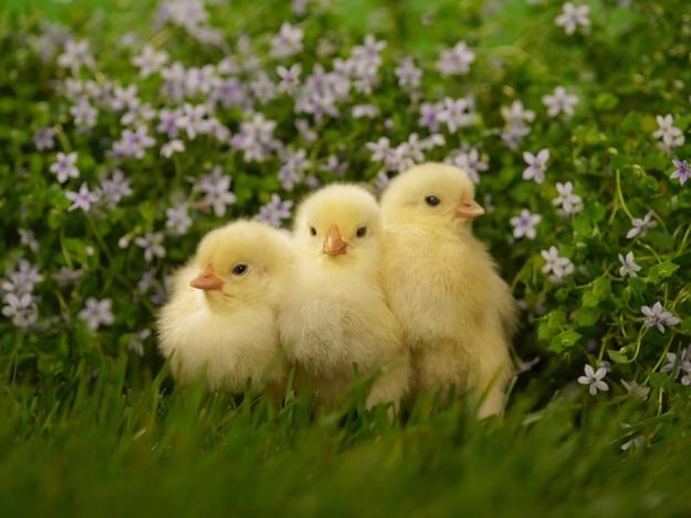pollitos bebes flores pasto