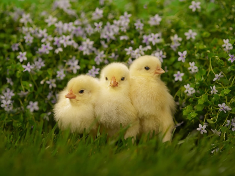 1920x1440-wallpapers-baby-animals-other-chicken-tream