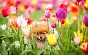perro y tulipanes