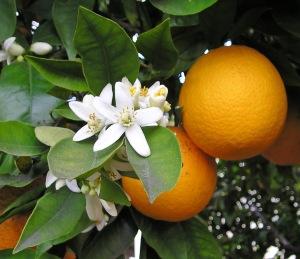azahares de naranjo
