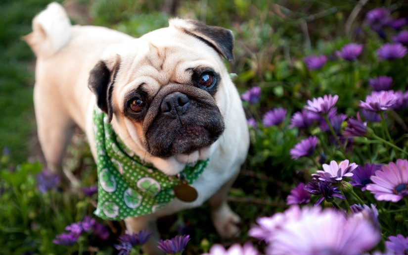 perro y flores pug