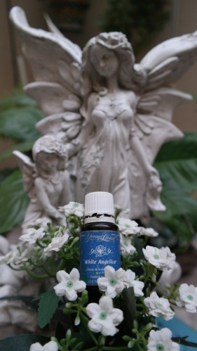 white angelica essential oil