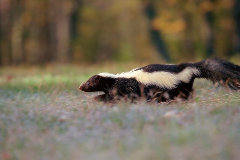 skunk zorrillo