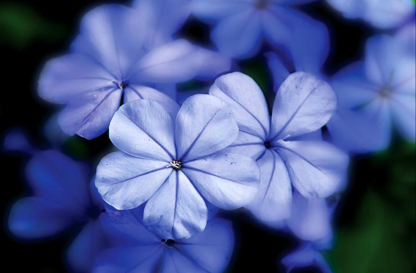 blue yarrow