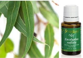 eucalyptus-radiata