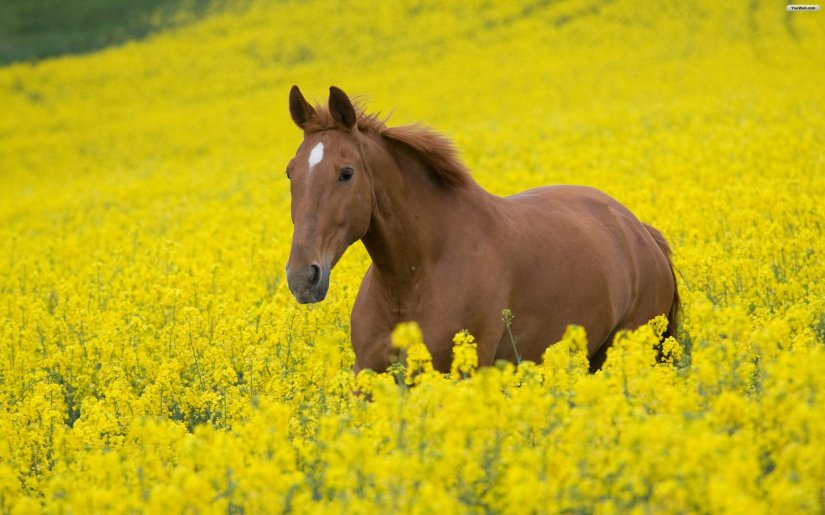 horse_and_flowers_wallpaper_ae889