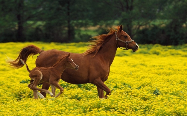 ws_horses_running_flower_field_2560x1600